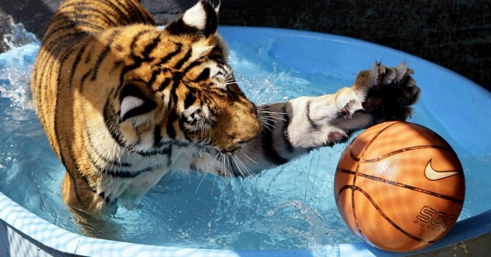 """7.ago.2012 - O tigre de bengala """"Albert"""" joga basquete durante um banho de piscina dentro de sua jaula no Estado de Jalisco, no oeste do México. O animal  convive com 50 cães e gatos"""