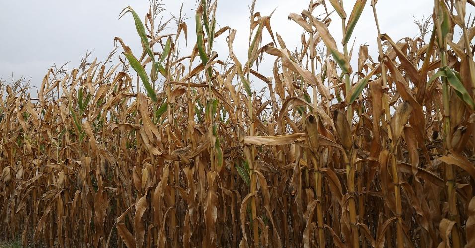 7.ago.2012 -  Plantação de milho sofre com a seca em Mechanicsville, no Estado americano de Maryland. A indústria agrícola em parte do Estado, e em outros como Indiana e Illinois,  vem sofrendo com a falta de chuvas