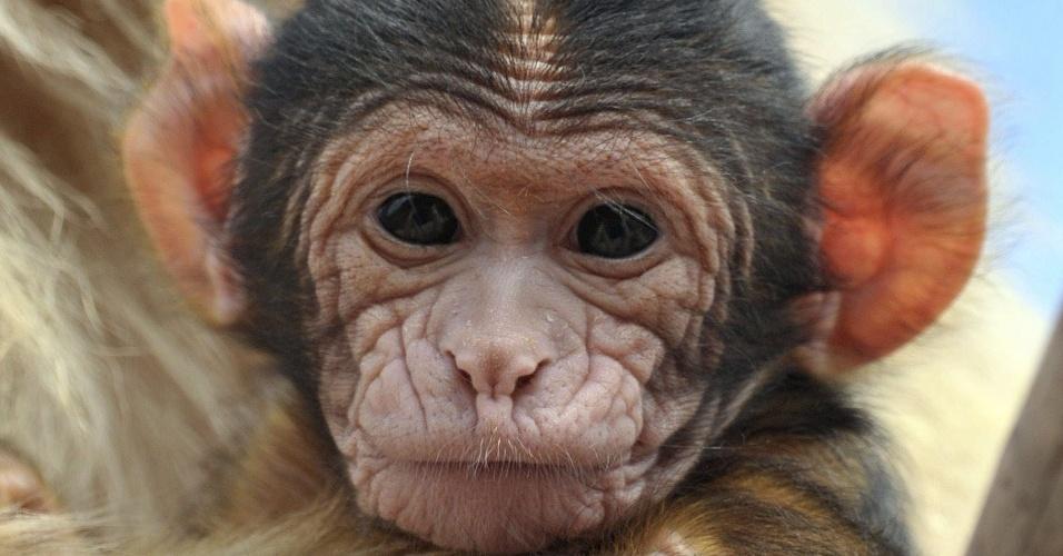 8.ago.2012 - Filhote de macaco Berbería (Macaca sylvanus) é apresentado no zoológico de Erfurt, na Alemanha