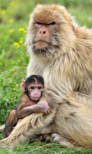 8.ago.2012 -  Filhote de macaco prestes a completar um mês de vida é abraçado pela mãe no zoológico de Erfurt, na Alemanha