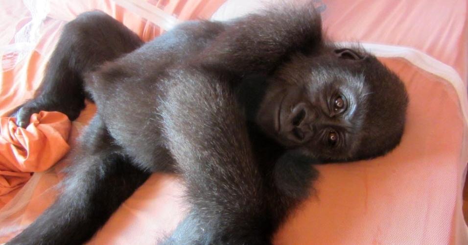 8.ago.2012 - Gorila de dois anos descansa em um santuário para animais de Camarões, após ser apreendido em um restaurante popular na Guiné Equatorial, onde servia de atração turística