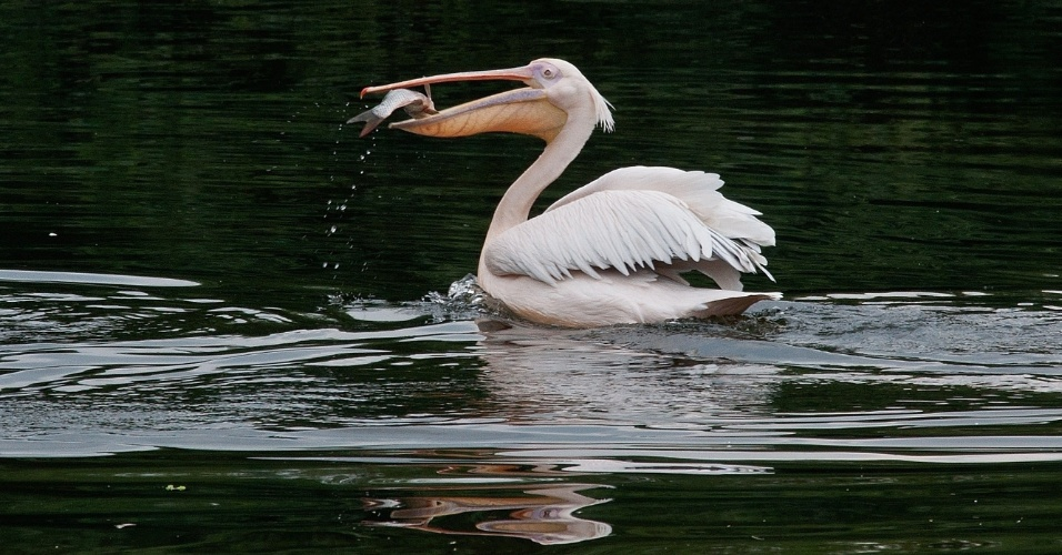 8.ago.2012 - Um pelicano Rosy pega um peixe em um lago no Parque Zoológico Nacional em Nova Deli, na Índia