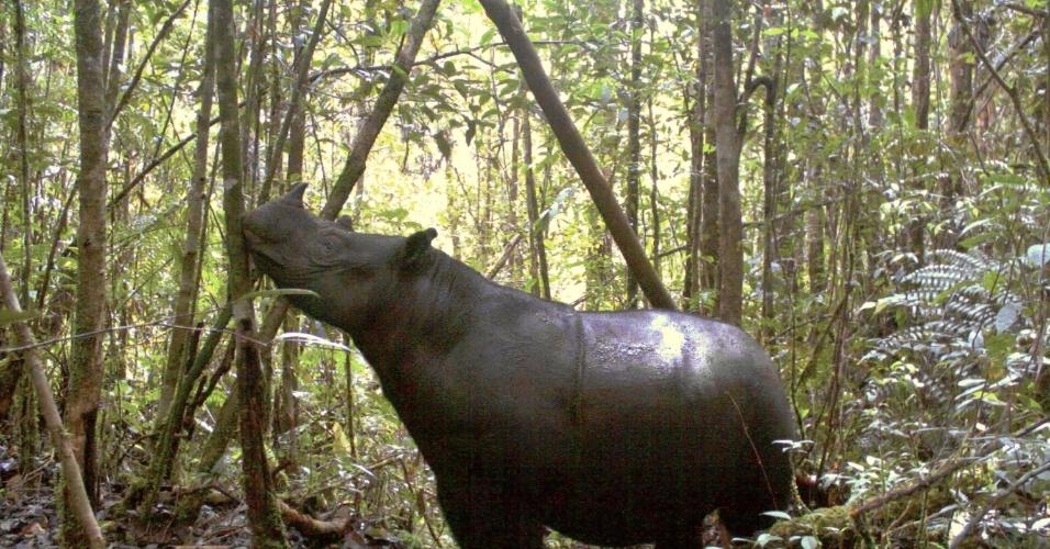 09.ago.2012 - Sete rinocerontes de Sumatra foram filmados por câmeras escondidas num Parque Nacional da Indonésia, onde se temia que esta espécie estivesse extinta, informou um conservador do parque. Há 26 anos não se via um rinoceronte de Sumatra no local. O número de rinocerontes de Sumatra diminuiu 50% nos últimos 20 anos, e calcula-se que só restem uns 200 em todo o mundo