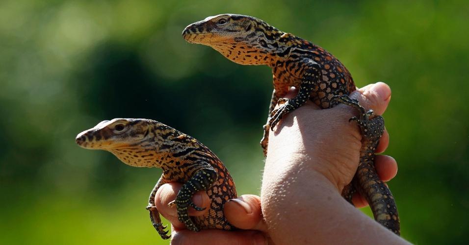09.ago.2012 Tratador apresenta dois filhotes de dragões de Komodo, com dez dias de vida, no zoológico de Praga, na Hungria