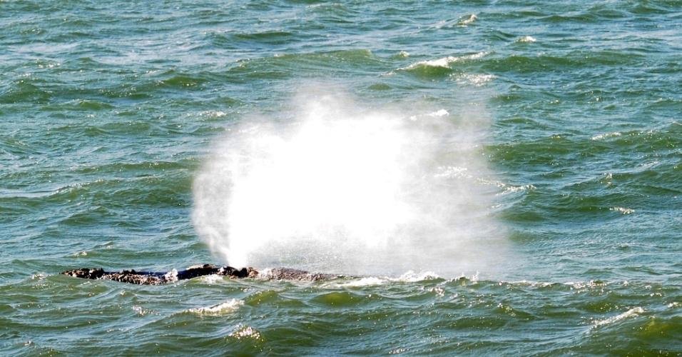 9.ago.2012 - Baleia aparece na praia do Morro das Pedras, em Florianópolis (SC), na manhã desta quinta-feira (9). De acordo com a diretora de pesquisa do Projeto Baleia Franca, Karina Groch, há cerca de uma semana uma baleia com o filhote circula pelo sul da Ilha