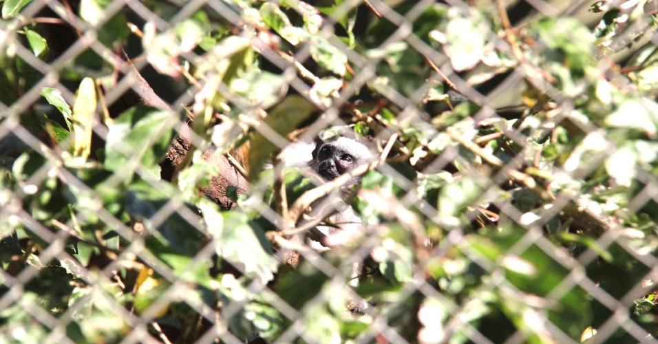 9.ago.2012 - O zoológico de Bauru, no interior de São Paulo, conseguiu reproduzir um sagui bicolor em cativeiro, animal que está ameaçado de extinção. O bicho tem 40 dias e é filho de um exemplar que foi furtado do zoo em 2007 e achado depois numa caixa de sapato sob uma árvore.