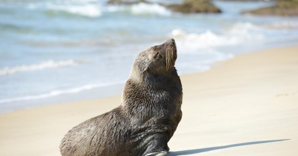 9.ago.2012 - Um lobo-marinho foi visto por funcionários de um resort na praia de Itapema (SC) pouco depois das 8 horas da manhã desta quinta-feira. O segurança do resort fazia uma ronda rotina no hotel quando avistou o animal na Praia da Ilhota