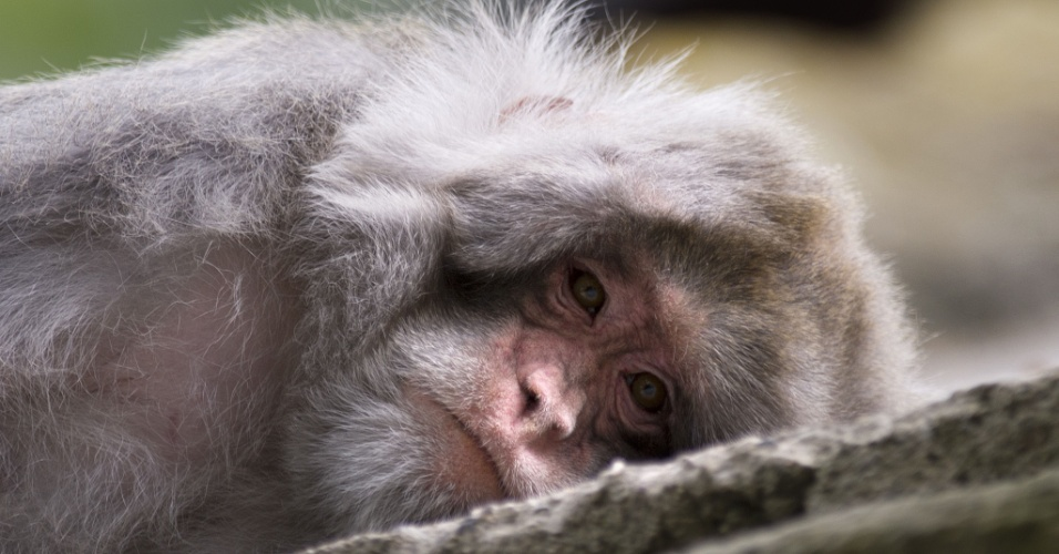 10.ago.2012 Macaco Rhesus deitado em uma rocha no zool&#243;gico de Dresden, na Alemanha
