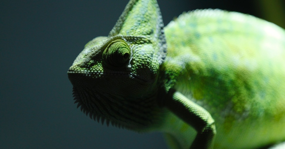 4.ago.2012 - Camaleão é vendido em pet shop de Duisburg, na Alemanha