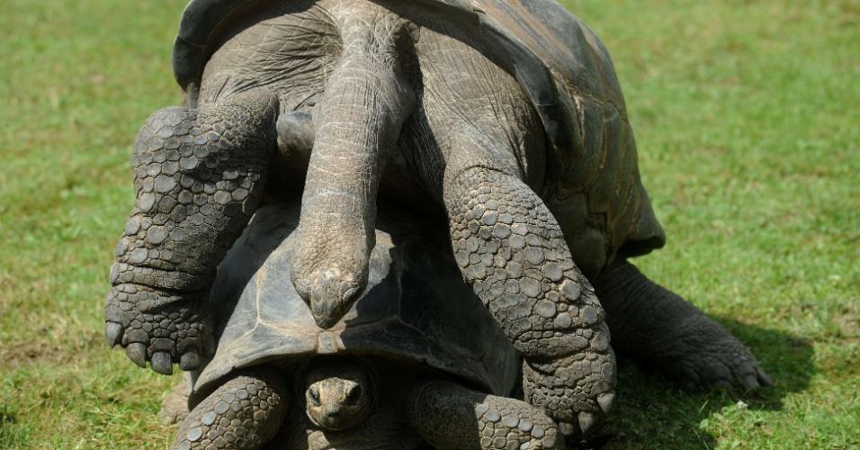5.ago.2012 - Tartaruga se equilibra sobre colega de recinto em zoológico em Praga, na República Tcheca