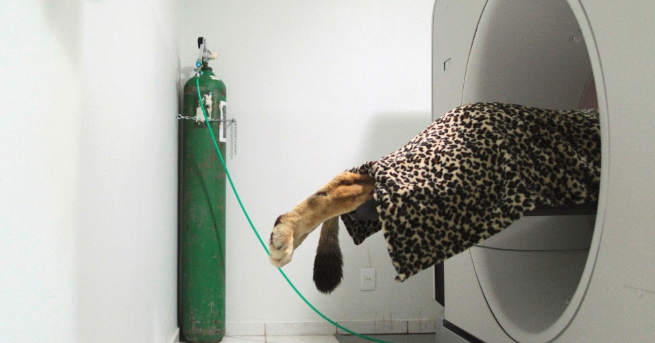 7.ago.2012 - Fafa, uma leoa de 18 anos de idade, é submetida a uma tomografia computadorizada em uma clínica veterinária de Brasília. O animal que vive no Zoológico de Brasília foi levado à clinica após ter convulsões e sangramentos. Veterinários acreditam que Fafa esteja com problemas no fígado, resquício do tumor que teve em 2010