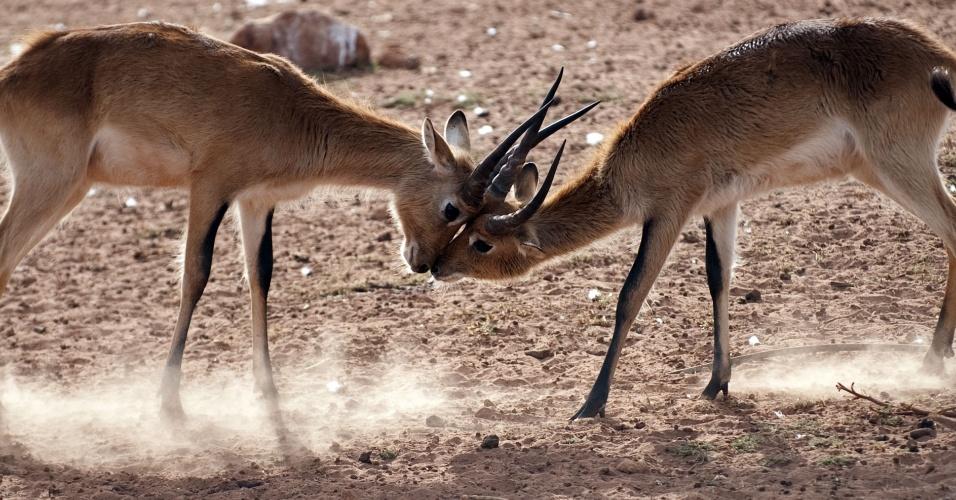 8.ago.2012 - Gazelas brigam em zoo de Rabat, no Marrocos