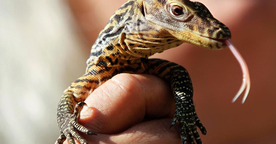 9.ago.2012 - Filhote de dragão de Komodo é apresentado em zoológico de Praga, na República Tcheca