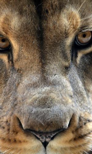 9.ago.2012 - Leão é retratado em seu recinto no zoológico de Wuppertal, na Alemanha