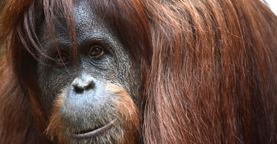9.ago.2012 - Orangotango senta-se no recinto do zoológico de Wuppertal, na Alemanha