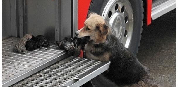 """A cachorrinha Amanda salvou seus filhotes de dez dias de um incêndio em Temuco, no Chile, segundo o jornal chileno """"Soy Temuco"""""""