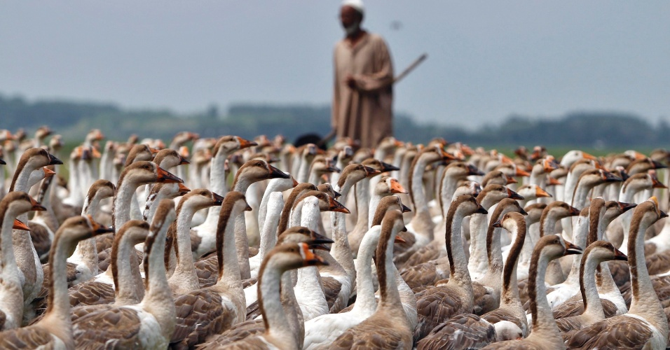 13.ago.2012 - Morador de Bandipora, na Caxemira, cuida de seus cisnes nesta segunda-feira (13)