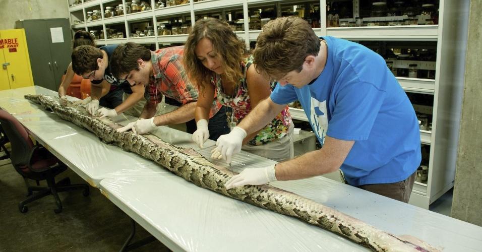 14.ago.2012 - Pesquisadores do Museu de História Natural da Flória se preparam para abrir uma cobra píton birmanesa com mais de cinco metros de comprimento e 75 quilos foi encontrada na Flórida, Estados Unidos. A foto, tirada no dia 10 de agosto, foi divulgada hoje pela Universidade da Flórida. A píton foi encontrada no Parque Nacional de Everglades e tinha um número recorde de ovos, 87