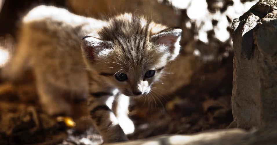 14.ago.2012 - Um gato do deserto caminha em seu espaço no safári Ramat Gan, próximo a Tel Aviv, em Israel. Quatro gatos do deserto, considerados em extinção no país, nasceram nas últimas três semanas no local