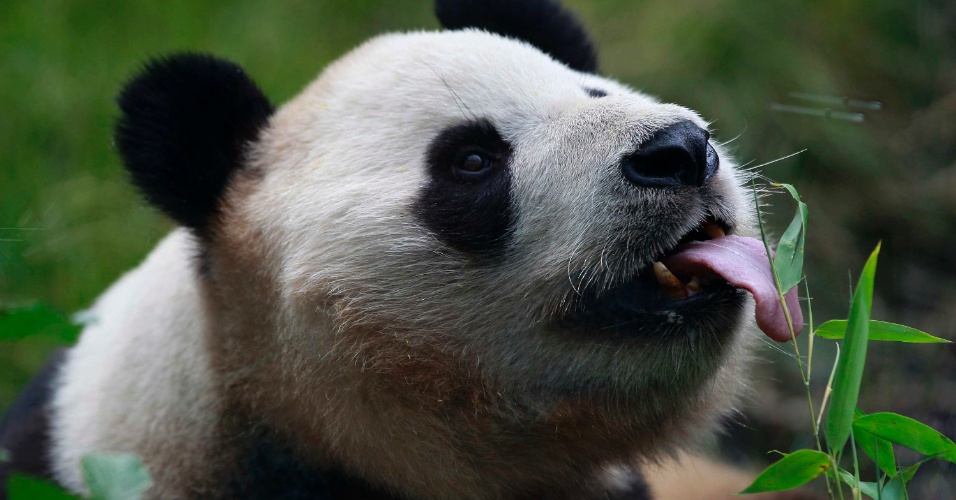 14.ago.2012 - Yang Guang, um panda gigante, lambe um folha de bambu no dia em que ele completa 9 anos, no zool&#243;gico de Edinburgo, na Esc&#243;cia 