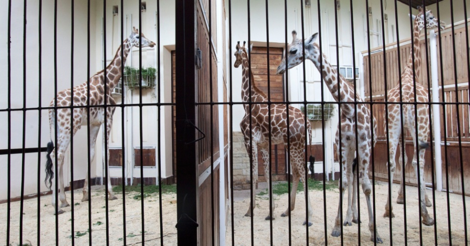 16.ago.2012 - Tr&#234;s girafas rec&#233;m-chegadas ao zool&#243;gico de Lodz, na Pol&#244;nia, s&#227;o colocadas na mesma cela para se conhecerem melhor. As tr&#234;s foram trazidas ao zoo param fazer companhia &#224; girafa Tofik, que ficou vi&#250;vo em maio ap&#243;s suas duas companheiras morrerem