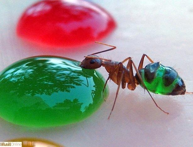 Corpo transparente faz espécie de formiga mudar de cor após comer