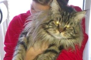 Fome de Cupido, um gatinho maine coon, deixa ladrões austríacos no prejuízo