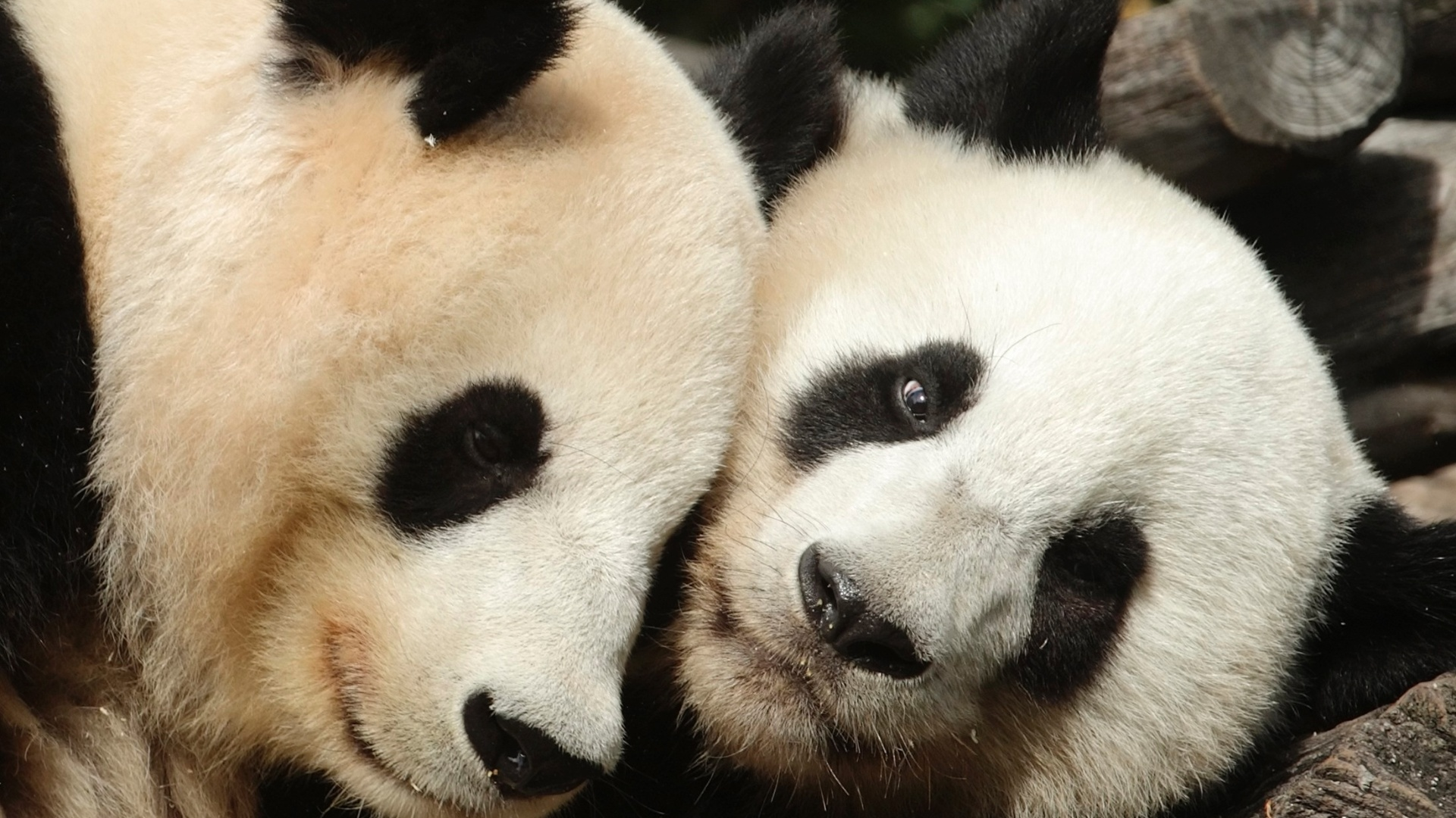 O panda Yang Yang e seu filhote Fu Hu, que completa dois anos nesta quinta-feira (23), no zoolgico de Vienna, na ustria