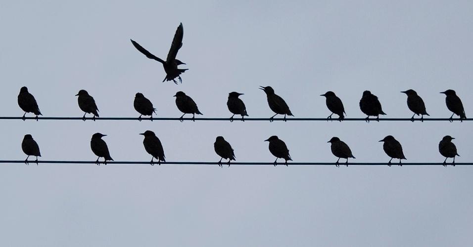 24.ago.2012 - Uma revoada de pássaros acomoda-se em cabos telefônicos da cidade de Zurique, na Suíça