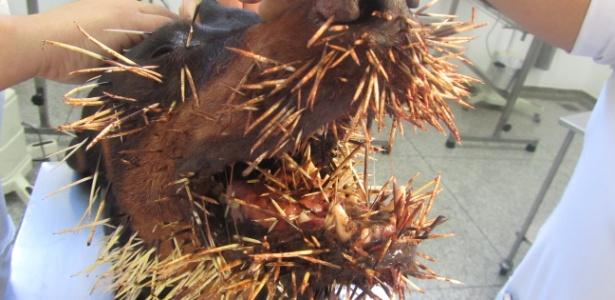 Cão briga com porco-espinho em Dourados (MS) e acaba com focinho todo machucado