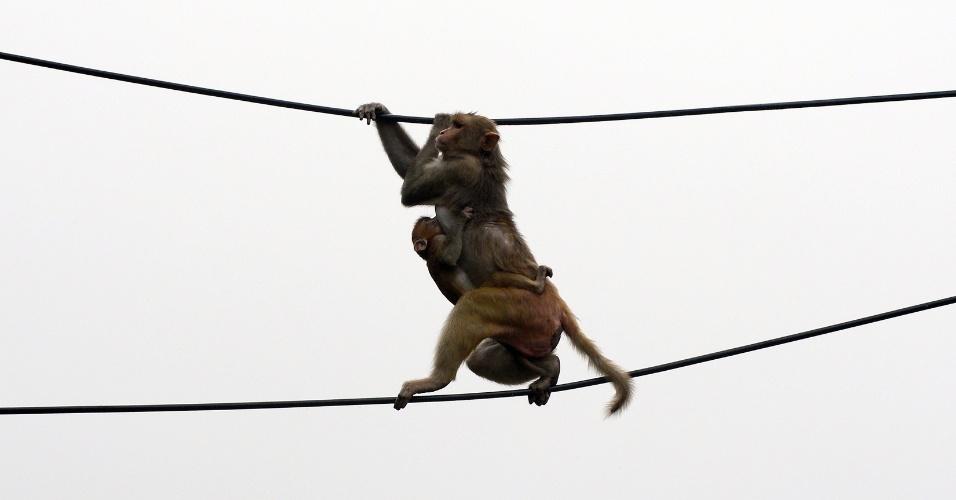 27.ago.2012 - Macaco brinca entre dois fios de energia elétrica em cima de um estacionamento no centro de Nova Déli, na Índia. Centenas de macacos vivem espalhados pelos telhados do centro da cidade. Apesar de incomodarem., eles não podem ser mortos porque muitos indianos os veem como animais sagrados