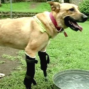 O cachorro Pay de Limón, que que teve as patas dianteiras cortadas por criminosos