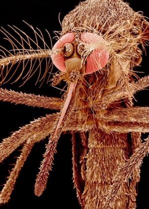 Aedes albopictus é vetor de doenças como febre amarela e febre do Nilo Ocidental