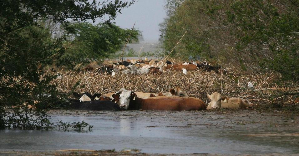 30.ago.2012 Animais aguardam resgatem em área inundada durante a passagem do furacão Isaac no condado de Plaquemines Parish, em Louisiana, nesta quinta-feira (30)