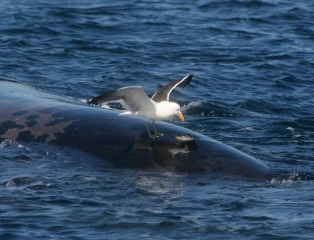 30.ago.2012 - Patagônia abate gaivotas para proteger baleias de ataques em santuário, ação que revoltou ambientalistas locais. As bicadas das aves ferem e, segundo as autoridades, até podem matar os mamíferos - já foram cerca de 60 registros nos últimos anos. Assustadas com os ataques, as baleias mudaram o comportamento e vivem, agora, mais submersas e estressadas