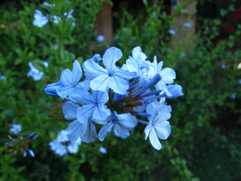 trepadeira Suas flores são delicadas em forma de pequenos buquês