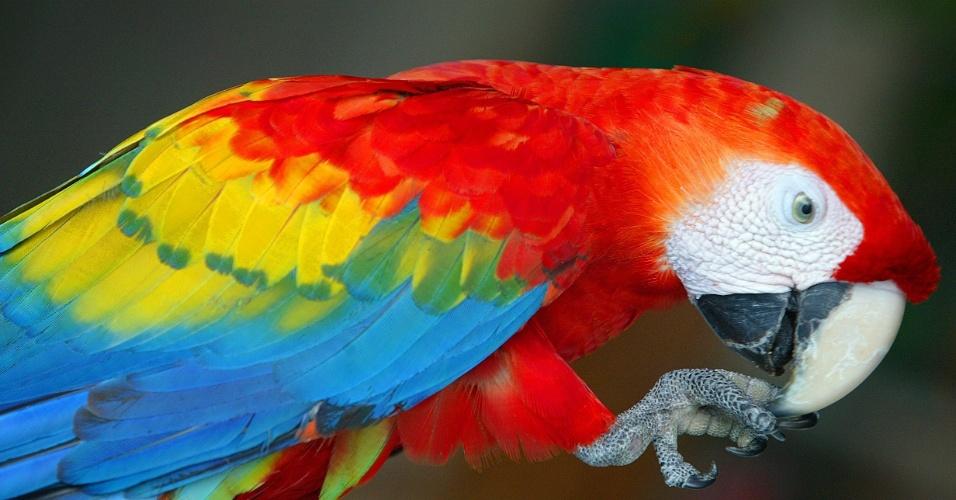 04.set.2012 [ foto de arquivo] - Arara do Parque Nacional do Rio Negro,no Amazonas, ganha frutas de hóspedes de hotéis da região