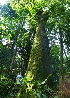 04.set.2012 [ foto de arquivo] - Engenheiros do do Ipan (Instituto de Pesquisa Ambiental da Amazônia) catalogam as árvores na Floresta Nacional do Tapajós, em Santarém, no Pará
