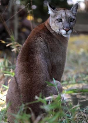 04.set.2012 [ foto de arquivo] - Onça parda (puma) é uma das seis espécies de felinos da floresta