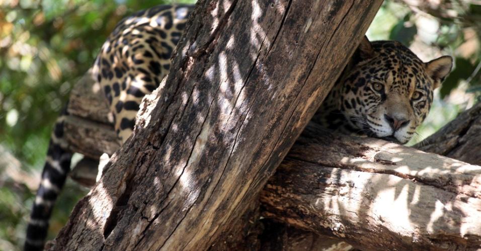 04.set.2012 [ foto de arquivo] - Onça pintada é uma das espécies de felinos da floresta Amazônica