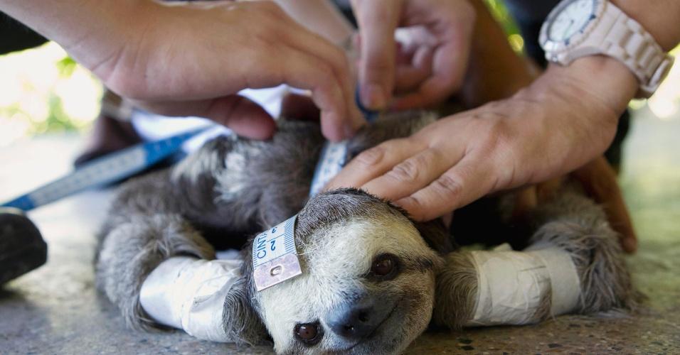 04.set.2012 [ foto de arquivo] - Universitários do Amazonas medem um bicho-preguiça ferido em Manaus