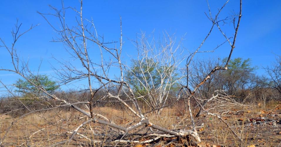 4.set.2012 - Árvore perde as folhas com a estiagem que castiga o Santa Maria da Boa Vista, em Pernambuco. Cerca de 72 cidades do Estado em situação de emergência, segundo determinação do governo federal