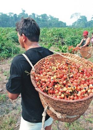 04.set.2012 - Amazonense carrega cesto cheio de guaraná após colheita em fazenda na cidade de Maués [arquivo]