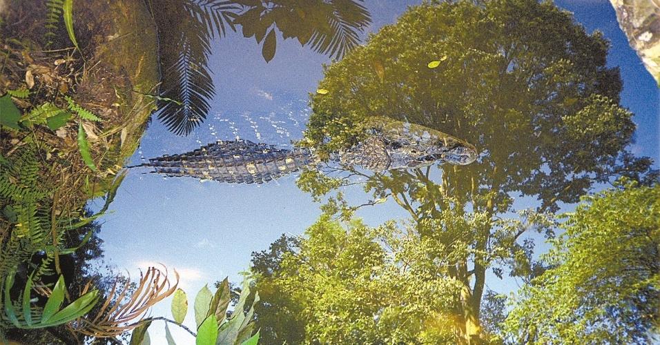 04.set.2012 - Jacaré-açu nada em lago em reserva florestal no Pará