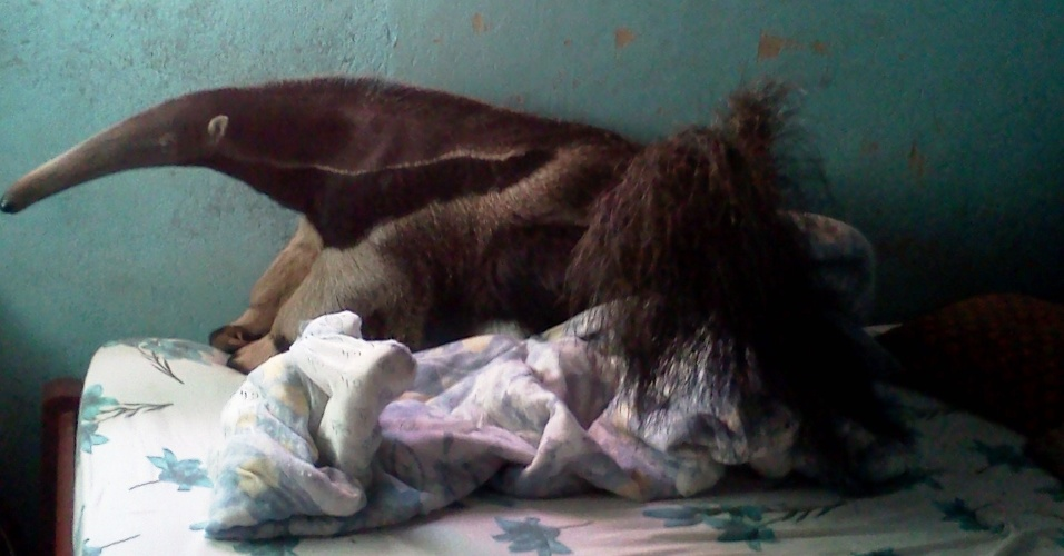 11.set.2012 - Um tamanduá-bandeira foi encontrado em cima da cama de uma residência, no distrito de Nova Fátima, na região metropolitana de Goiânia, no domingo ( 9). O animal foi capturado por uma equipe do Corpo de Bombeiros, ele passou por avaliação no Centro de Triagem de Animais Silvestres e depois foi devolvido à natureza