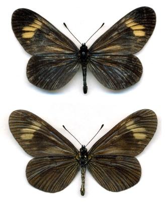 12.set.2012 - A lista tem espécies de 48 países e foi compilada por 8 mil cientistas da UICN. Na foto acima, dois exemplares da borboleta brasileira Actinote zikani, ainda encontrada na região da Mata Atlântica de São Paulo