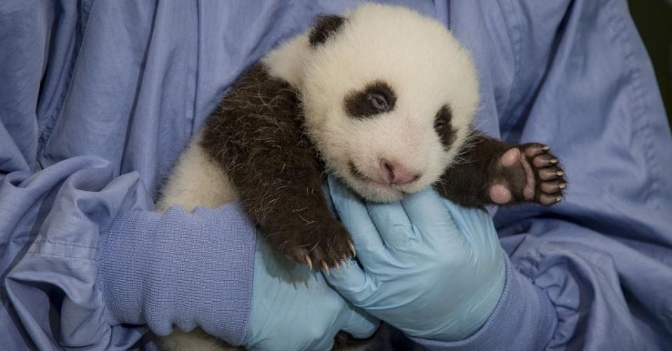 12.set.2012 - Panda com 45 dias é examinado por veterinários no zoológico de San Diego, na Califórnia, nos Estados Unidos