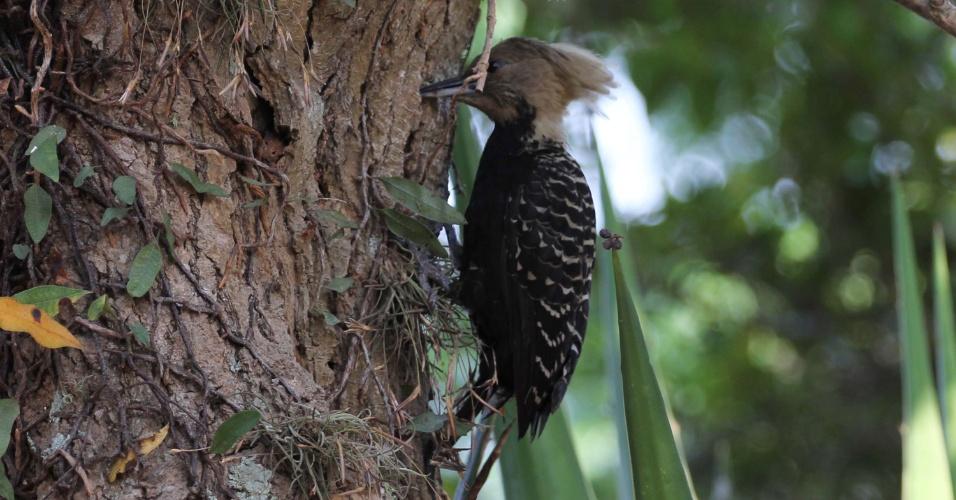 12.set.2012 - Pica-pau é flagrado na manhã desta quarta-feira (12) em árvore do parque do Ibirapuera, na zona sul de São Paulo