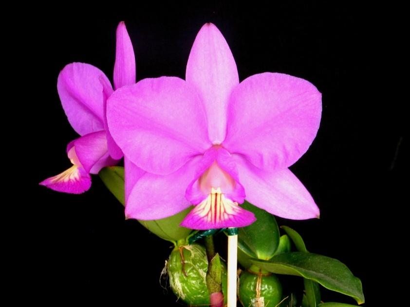 "Cattleya nobilior ""Hypnos"""