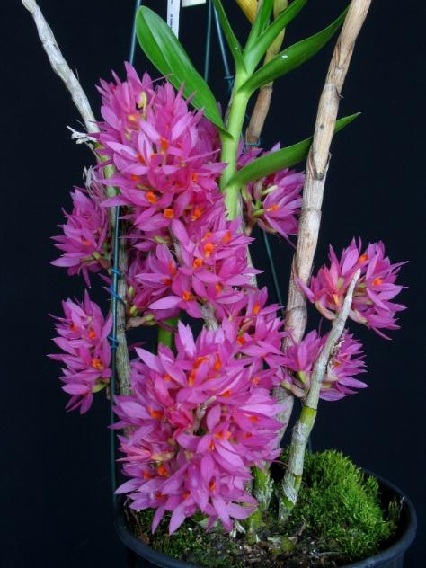 Dendrobium bracteosum (nativo)